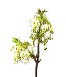 Flowering maple branch, blossoming branch of catkins willows clo. Se up in early spring, isolated elements on white  background for scrapbook, object Royalty Free Stock Photos