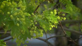 Flowering maple tree. Illuminated by the sun stock video footage