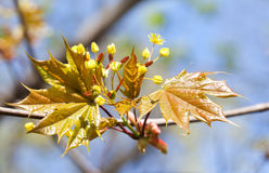 Flowering maple tree. Macro view yellow flowers and fresh leaves against sunlight. soft focus. retro style colors Royalty Free Stock Images