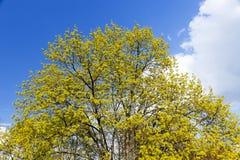Flowering maple tree Stock Photos