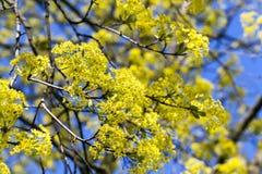 Flowering maple tree Stock Photography