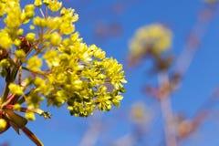 Flowering maple tree Stock Image