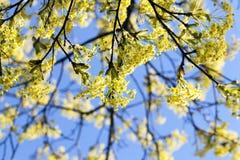 Flowering maple tree Royalty Free Stock Photo