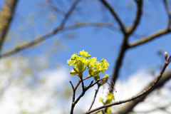 Flowering maple tree Royalty Free Stock Photography