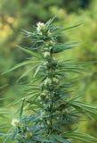 Flowering marijuana plant Stock Photos