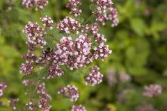 Flowering Marjoram plants Royalty Free Stock Photo