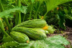 Flowering marrow with fruits Royalty Free Stock Photo