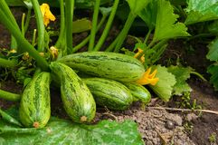 Flowering marrow with fruits Stock Photography