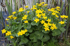 Flowering marsh marigold Royalty Free Stock Photo