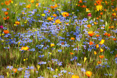 Flowering meadow Stock Images