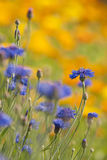 Flowering meadow. Field of blomming blue cornflower and Marigold (calendula) in summer meadow royalty free stock images