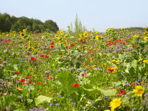 Flowering meadow Royalty Free Stock Photography