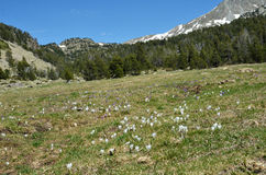 Flowering meadow in the Andorran alpine valley Royalty Free Stock Images