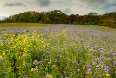 Flowering meadow in autumn with a lot of Phacelia. In autumn Royalty Free Stock Photo