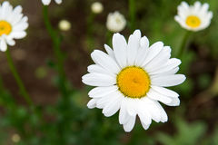 Flowering Meadow daisies. Medical fee. Useful properties of chamomile. Royalty Free Stock Photography