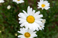 Flowering Meadow daisies. Medical fee. Useful properties of chamomile. Royalty Free Stock Photo
