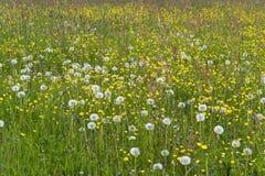 Flowering meadow Royalty Free Stock Photos