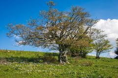 Flowering meadow with isolated beech tree against the blue sky, Italy Stock Photography