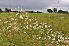 Flowering meadow in the Kinnekulle area, Sweden. Royalty Free Stock Photos
