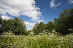 Flowering meadow Stock Photography