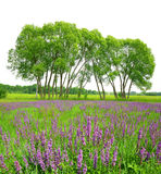 Flowering meadow with trees Stock Photography