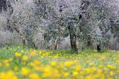 Flowering meadow under olive trees Royalty Free Stock Photos