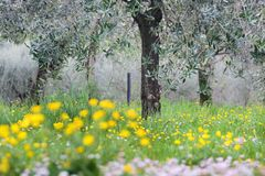 Flowering meadow under olive trees Stock Photography