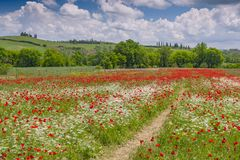 Free Flowering Meadow With Poppies And Chervil, Val D`Orcia Region, Province Of Siena, Tuscany, Italy Stock Image - 167300451