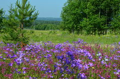 Flowering meadows Russia Royalty Free Stock Image