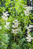Flowering Meadowsweet (Latin name Filipendula ulmaria). Meadowsweet (Latin name Filipendula ulmaria). Medicinal plant in the natural environment of growth Royalty Free Stock Images