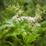 Flowering Meadowsweet Latin name Filipendula ulmaria. Meadowsweet Latin name Filipendula ulmaria. Medicinal plant in the natural environment of growth, Russia Royalty Free Stock Images