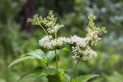 Flowering Meadowsweet Latin name Filipendula ulmaria. Meadowsweet Latin name Filipendula ulmaria. Medicinal plant in the natural environment of growth, Russia Stock Photography