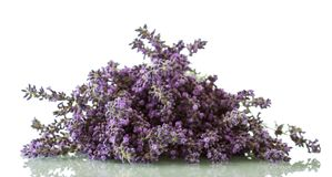 Flowering medicinal plant lavender isolated on white. Background royalty free stock photo