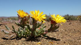 Flowering mesemb - South Africa stock video