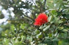 Flowering Metrosideros polymorpha lehua plant endemic to Hawaii Royalty Free Stock Photos