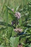 Milkweed Plant-Flowering Asclepias syriac. Flowering milkweed plant. Milkweed flowers bloom from June to August, Kingston, Ontario stock photo