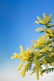 Flowering mimosa Royalty Free Stock Image