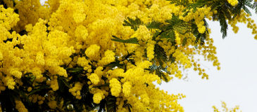 Flowering Mimosa Stock Photography