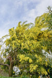 Flowering of a mimosa tree Stock Images