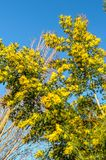 Flowering mimosa tree. Spring with mimosa tree in bloom royalty free stock photo