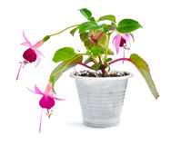 Flowering of the Mini fuchsia. In a small pot Stock Image