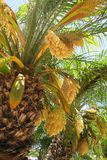 Flowering miniature palm trees. Detail of two miniature palm trees with fronds and flowers Royalty Free Stock Image