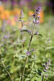 Flowering Mint Stock Images