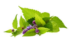 Flowering mint branch on white. Stock Photo