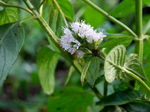 Flowering mint in garden. Close up of white flowers on mint plant in sunny garden stock photography