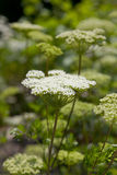 Flowering Moon Carrot Royalty Free Stock Photo