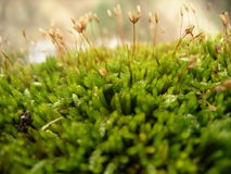 Flowering moss. Close up of moss on a tree branch Royalty Free Stock Images