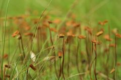 Flowering moss. Green moss and brown flowers. Royalty Free Stock Photos