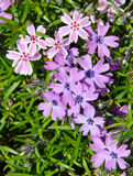 Flowering Moss Phlox Stock Image