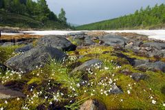 Flowering moss in a snowy riverbed. Small flowers erupt from lush moss in a riverbed surrounded with summer snow in the Taiga mountains in northern Mongolia royalty free stock image